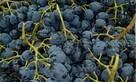 В России из продажи изъяли молдавский виноград