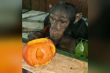 Любуется фонарями из тыквы и лакомится семечками: как шимпанзе Лея из иркутской зоогалереи готовится к Хэллоуину