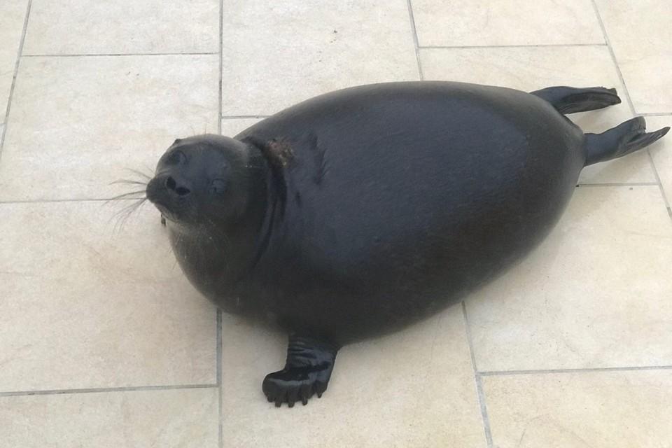 Нерпенок Шлисик еще на два года останется в центре спасения тюленей в Репино