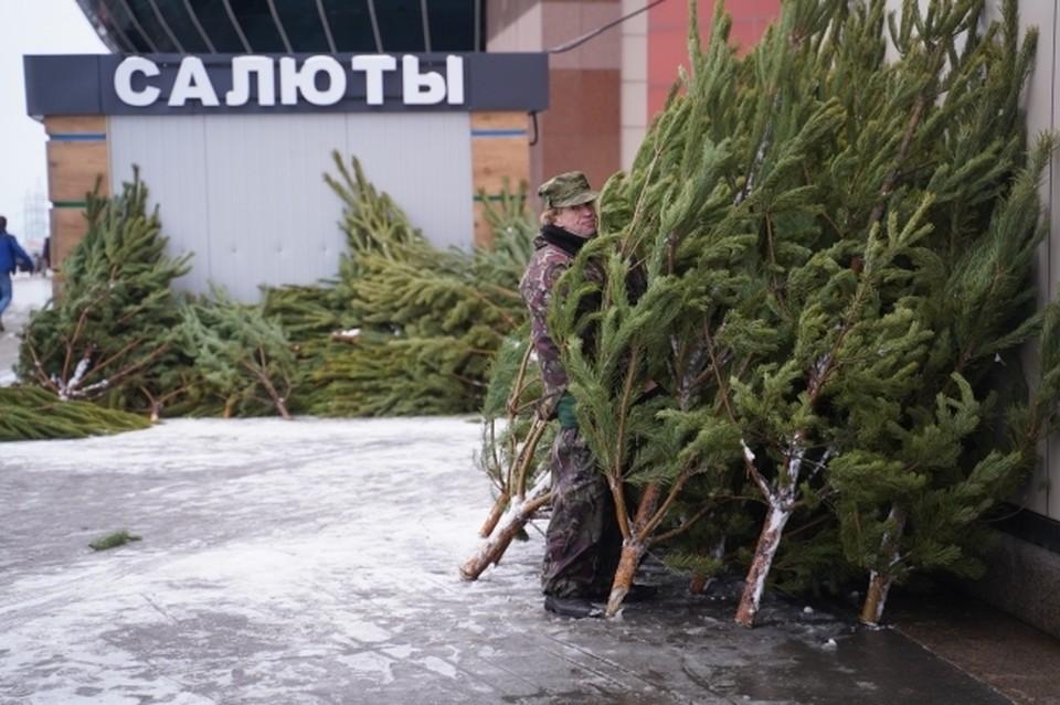 В Симферополе продажа елок начнется с середины декабря.