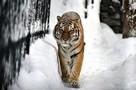 «Э, мужики, не выходите»: тигр загнал людей в придорожное кафе в Хабаровском крае