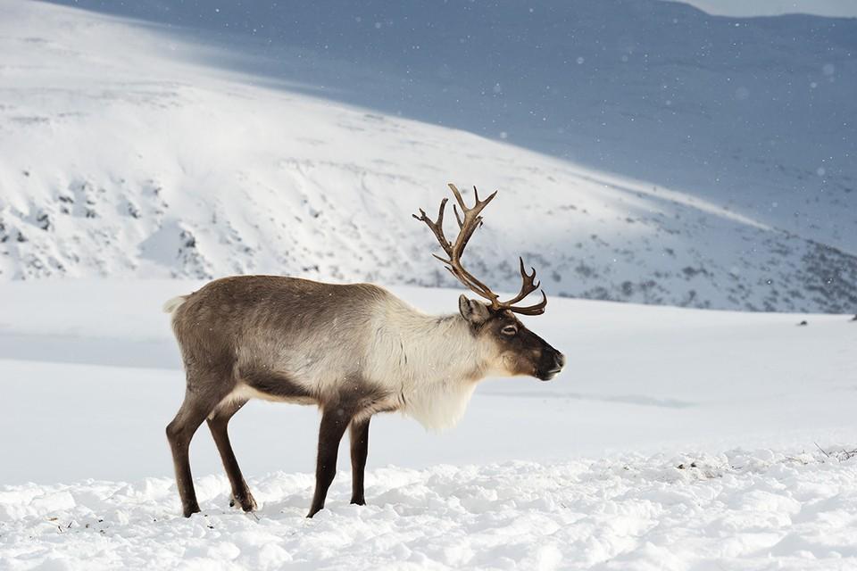 В 2020 году дикий северный олень занесен в Красную книгу России. Фото: Светлана Горбатых / WWF России