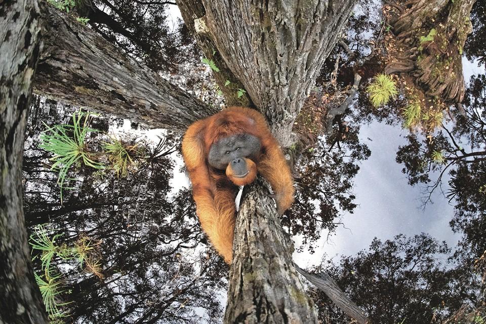 Томас Виджаян (Борнео). «Мир вверх ногами». Категория «Млекопитающие». Фото: Сяо ЧЖУ