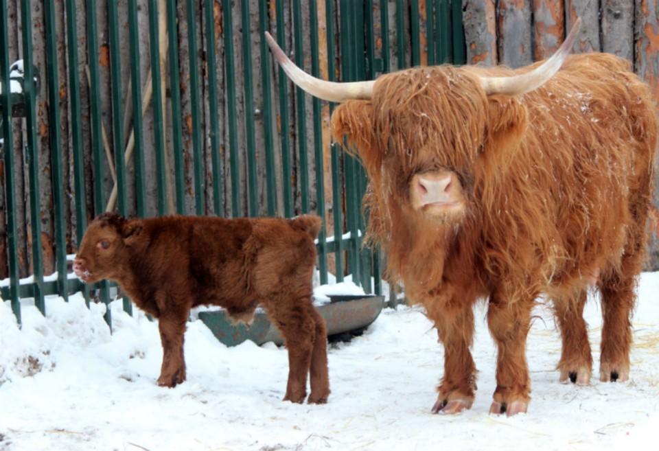 Живой символ года: В нижегородском зоопарке «Лимпопо» родился шотландский бычок хайленд.