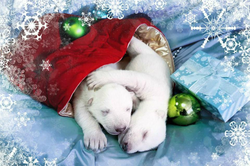 Красноярский белый медведь Седов стал отцом двух малышей ФОТО: аккаунт VKontakte Сафари-Парк Геленджик