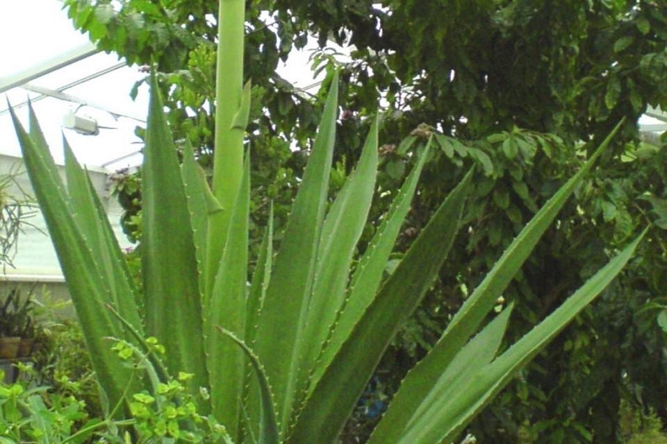 Цветение растения продлится до конца января. Фото: vk.com/pabgi