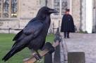 Страшное пророчество о падении империи: Британия ищет пропавшую ворону-хранительницу Тауэра