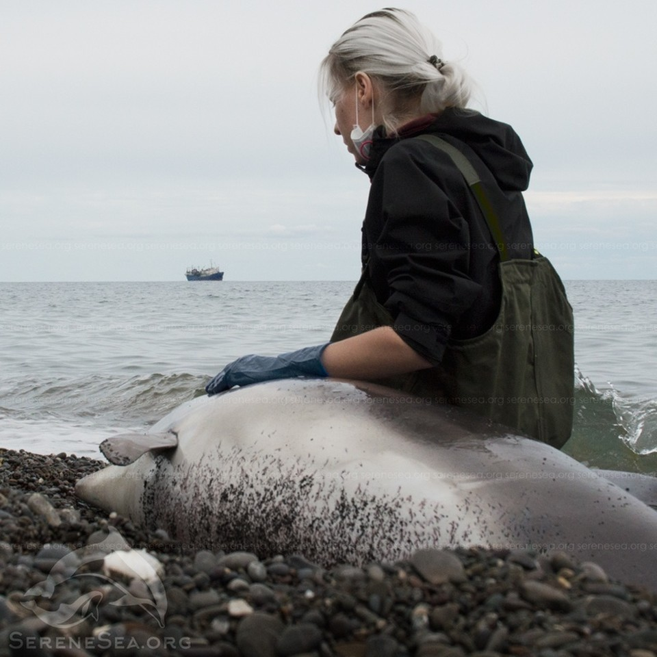 Дельфинов губят рыбацкие сети. Фото: Центр реабилитации дельфинов «Безмятежное Море»/VK