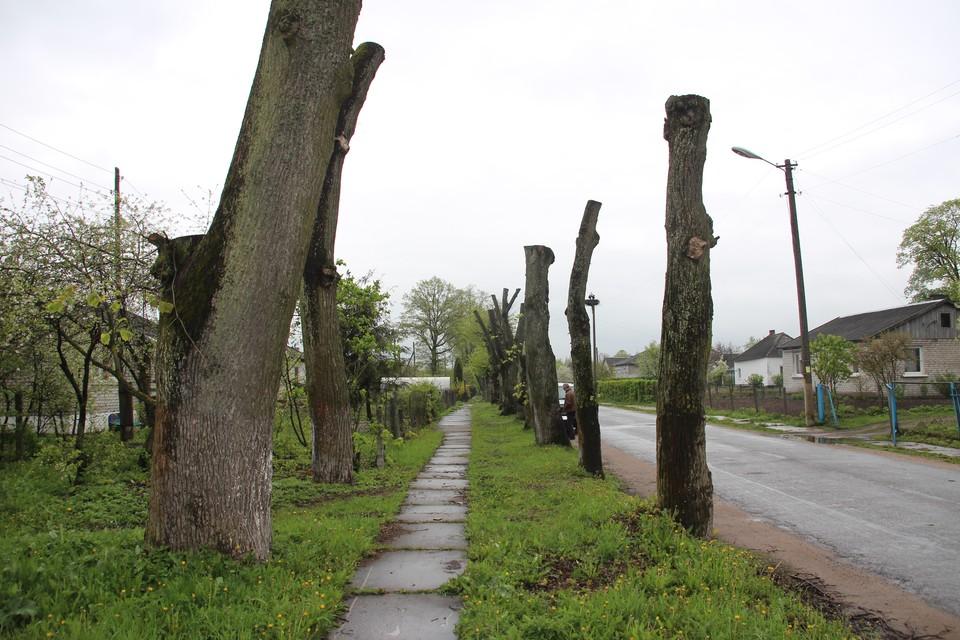 Продолжат ли калининградские деревья превращаться в столбы, станет ясно в ближайшие месяцы