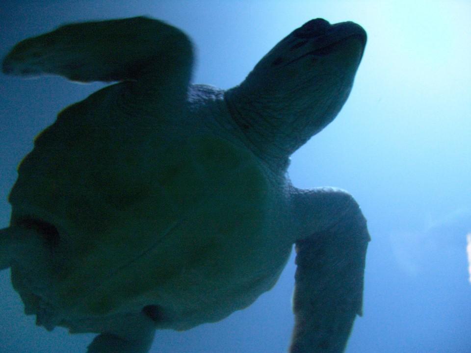 Техасе жители спасают от холода морских черепах.