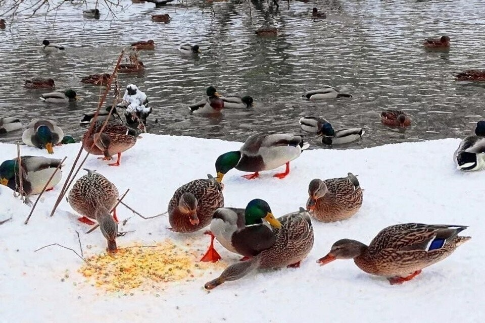 По словам специалистов, зимой диких уток нужно кормить зерновой смесью из ячменя, гороха, овса, кукурузы и пшеницы. Фото: vk.com/club87644198