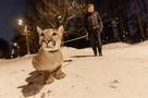 «Обычная кошка, только весит 60 кг»: как москвич живет с пумой в однокомнатной хрущевке