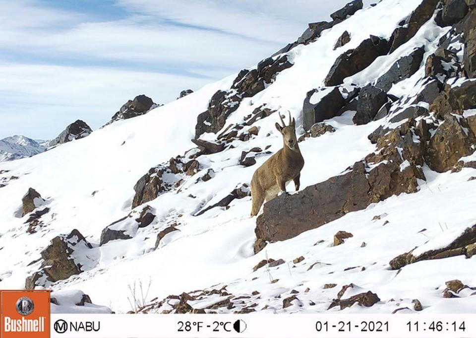 Уникальными снимками поделился «Союз охраны природы Германии (NABU)» в Кыргызстане.