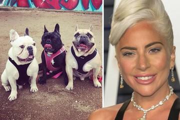 Певица Леди Гага предлагает $500000 за похищенных у нее бульдогов