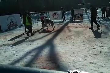 На видео попали жестокие собачьи бои в санатории под Воронежем