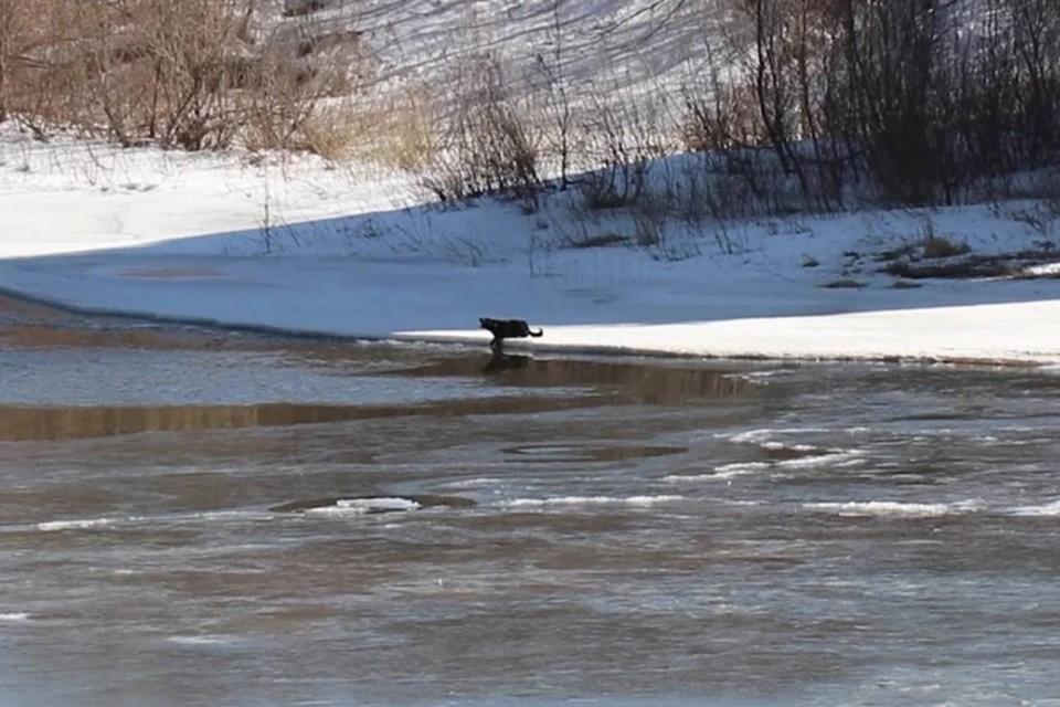 «Переплыла реку и убежала»: Собака, которую всем миром спасали с острова в Нижнем Новгороде, сама перебралась на другой берег.