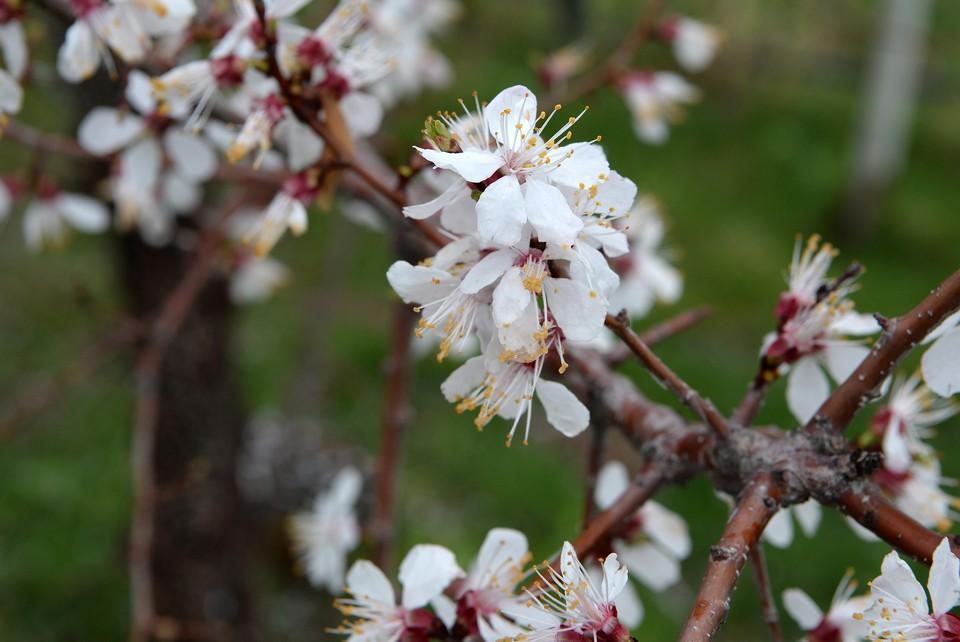 Такие заморозки опасны для бутонов и цветков абрикоса.