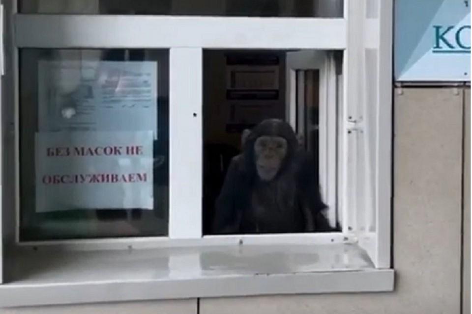 Шимпанзе сменила контролера в Новосибирском зоопарке. Фото: стоп-кадр.