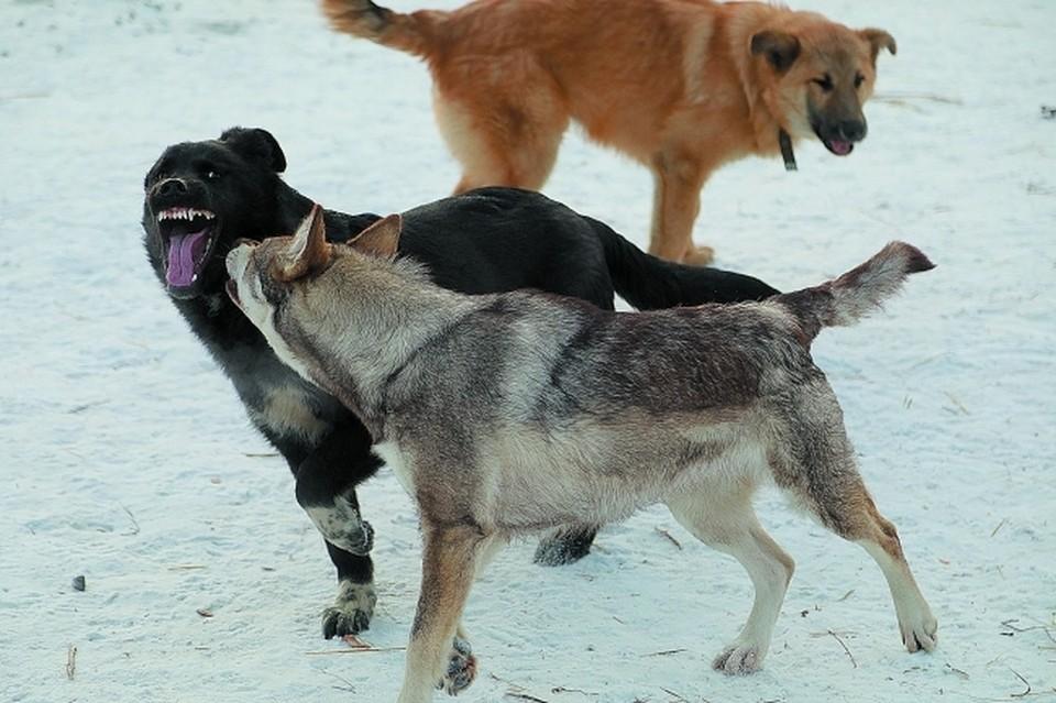В 2020 году в Пограничном райне Приморья зафиксировано более 20 случаев нападения бездомных собак на людей