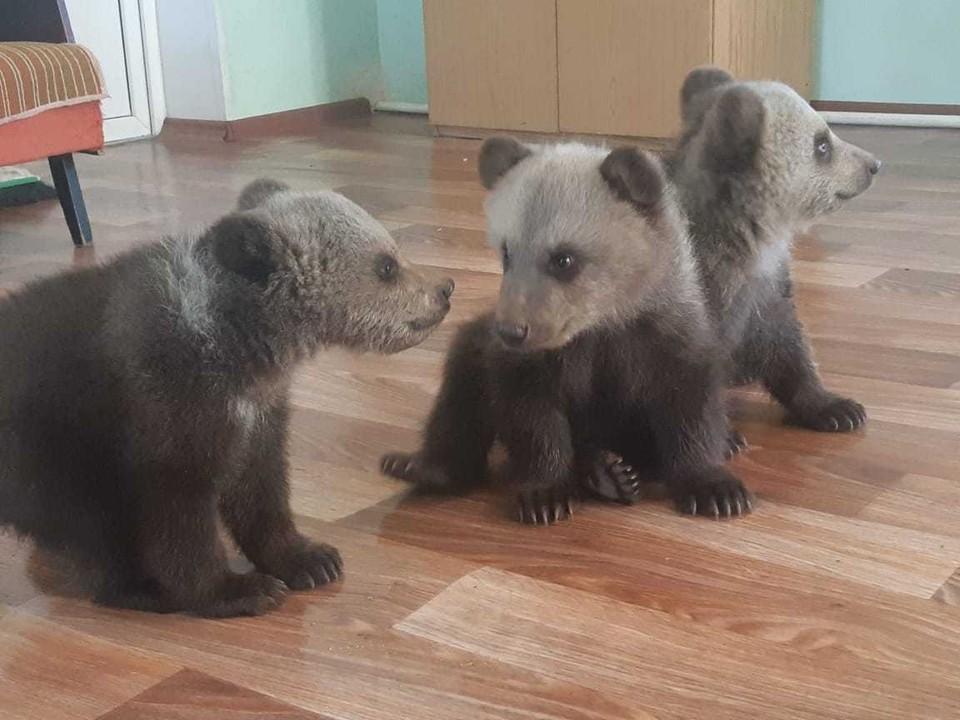 Медвежатам всего 4 месяц, но они уже очень активные и любознательные