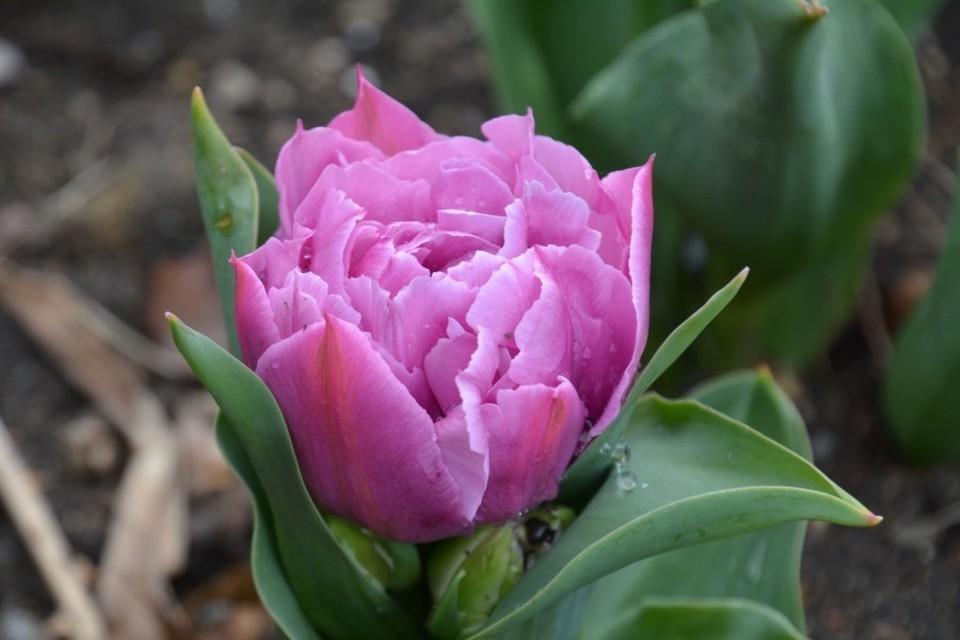 На ЮБК очень красивые тюльпаны. Фото: Екатерина Крючкова/ Никитский ботанический сад (НБС-ННЦ РАН)/VK