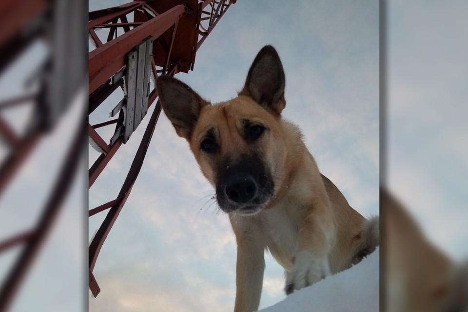 Фрося хоть почти весь день и проводила на склоне горы Кукисвумчорр, была собакой домашней. Фото: Личный архив.