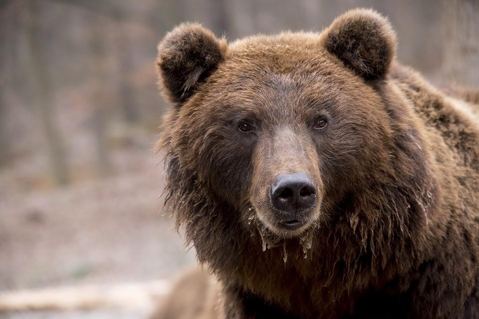 В первое время медведи не отходят далеко от своих берлог. Фото: pixabay.com