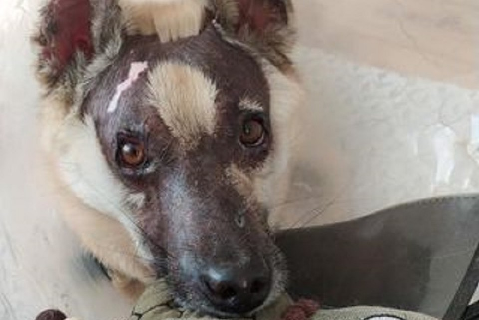 «Жгли паяльной лампой»: собака, которую спасли иркутские волонтеры, стала звездой передачи Андрея Малахова. Фото предоставлено Викторией Гасановой