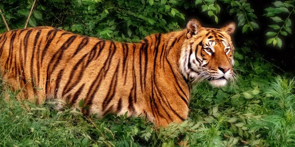 В семействе бенгальских тигров - прибавление! (Фото: zoo.md).