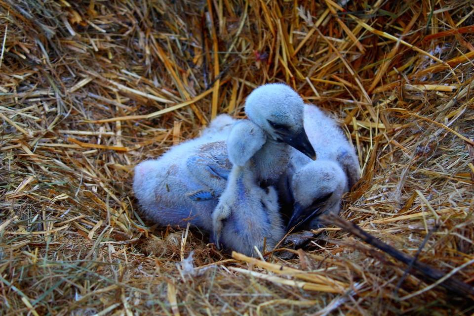 Когда родители на время покидают гнездо, малыши жмутся друг к другу, чтобы не замерзнуть.