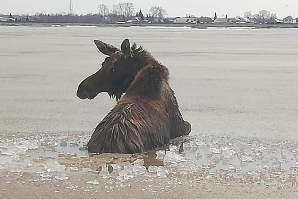 В селе Сосновка под Бердском маленький лосенок оказался один на льду Обского моря. Фото: БПСО