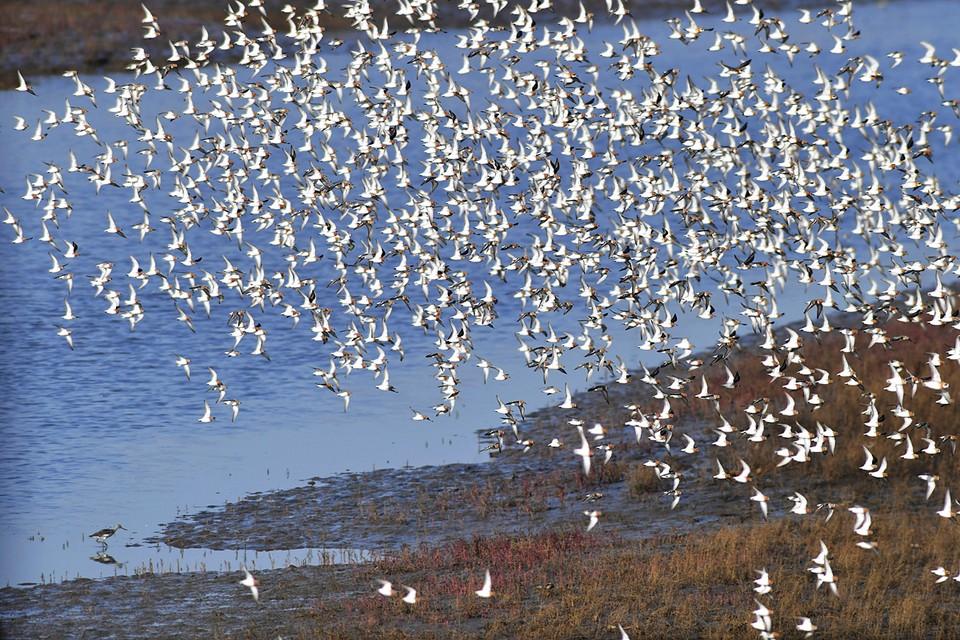 Число птиц в бесчисленных стаях потрясает воображение