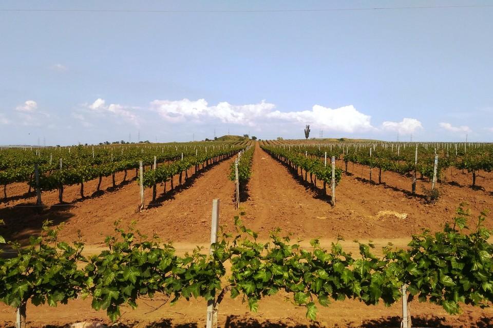 Кубань - идеальное место для выращивания винограда.