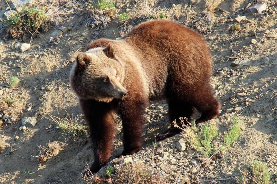 """Один мишка на 10 километров: на Байкале сосчитали зверей. Фото: ФГБУ """"Заповедное Прибайкалье"""""""