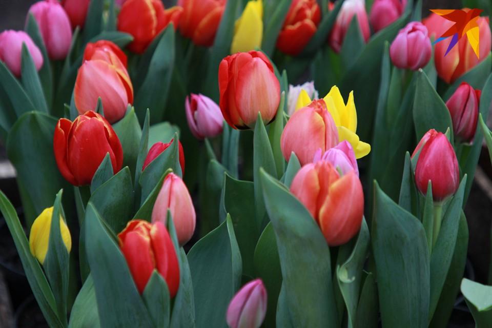 Прошлой осенью работники ПОСВИРа высадили в Кировске более 5 тысяч луковиц тюльпанов.