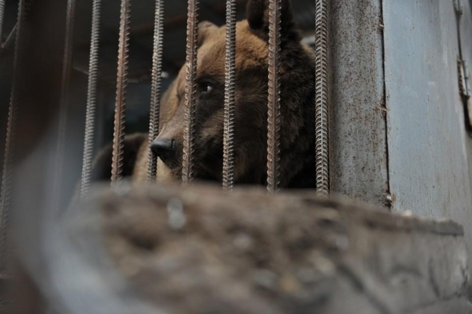 На рыбака напал медведь в районе Анивы