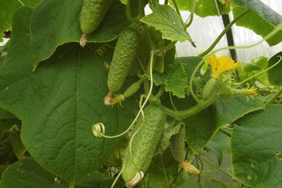 Гибриды огурца отличаются повышенной урожайностью и устойчивостью к болезням. Фото: Николай БАРЫШЕВ.