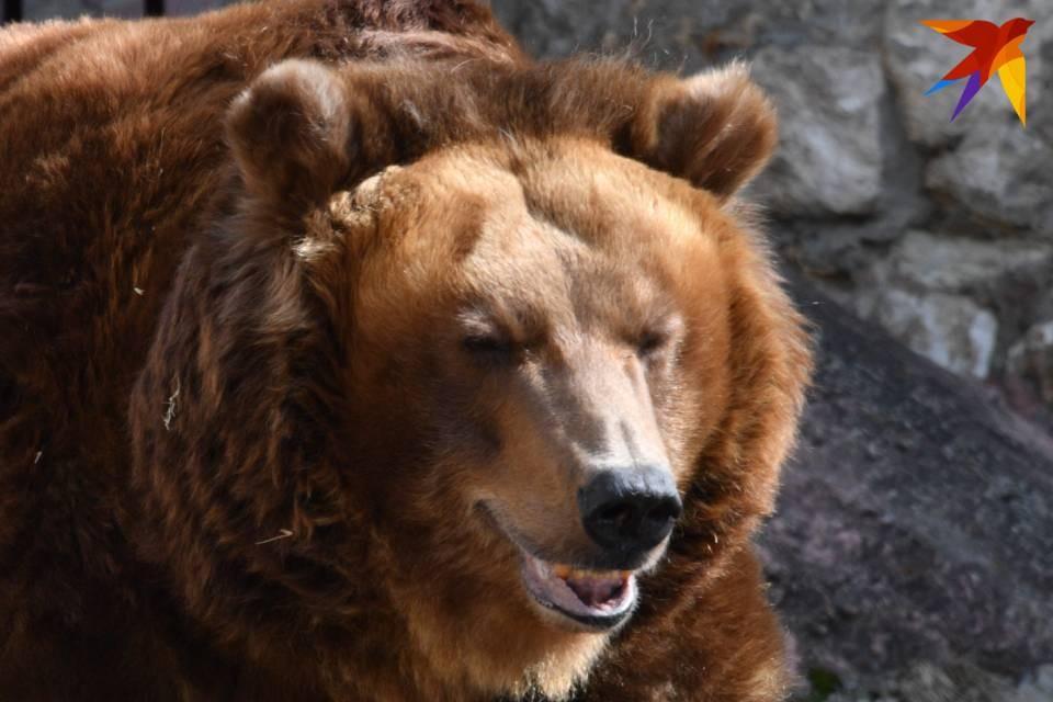 """Медведицу с малышами заметили рядом с аэропортом """"Мурманск""""."""