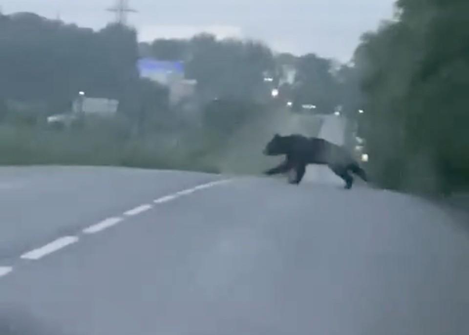Жители запечатлели перебегающего медведя через дорогу. Фото:ВКонтакте/inc_kuzbass.
