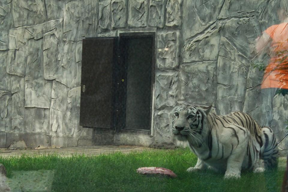 Белая бенгальская тигрица Вега.