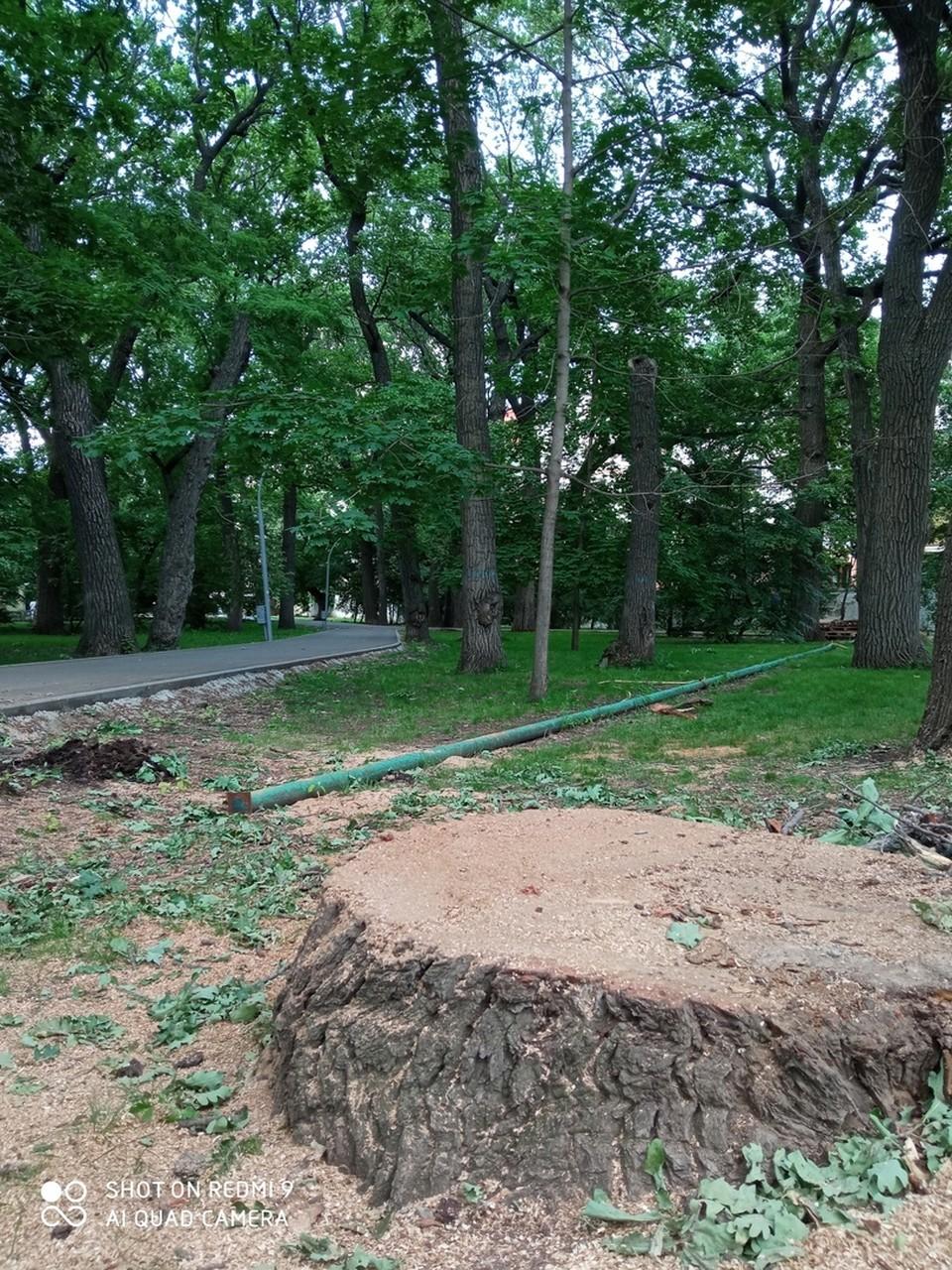 В горпарке рубят здоровые деревья