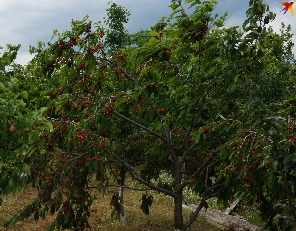Молдавские фермеры раздают черешню, но за деньги