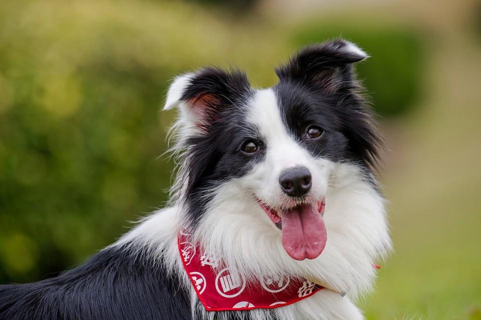 Бордер-колли признаны самыми умными собаками. Фото: avto.goodfon.ru.