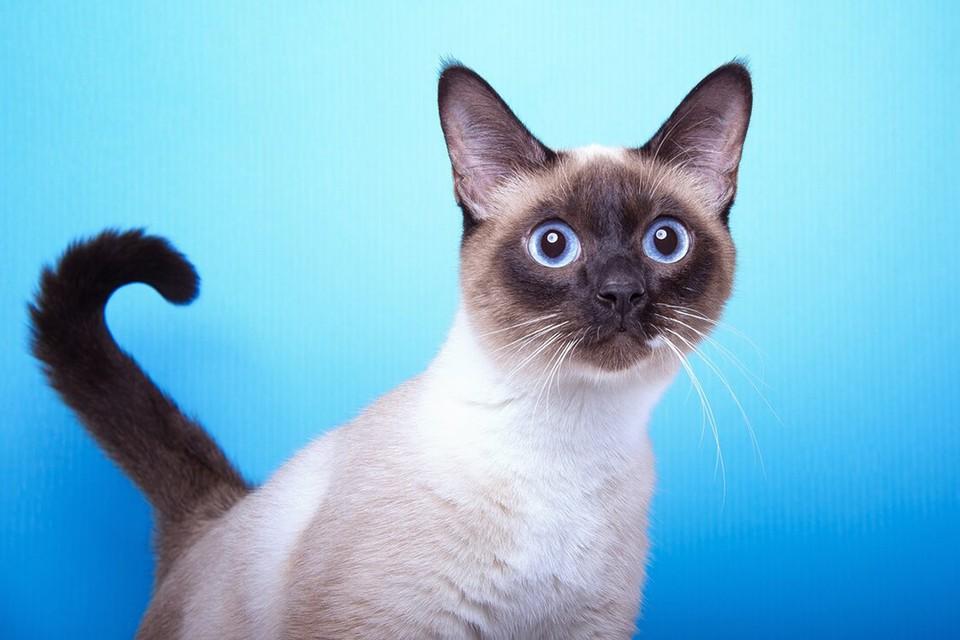 Хорошо всем знакомые сиамские коты- одна из древнейших пород. Фото: zen.yandex.ru.