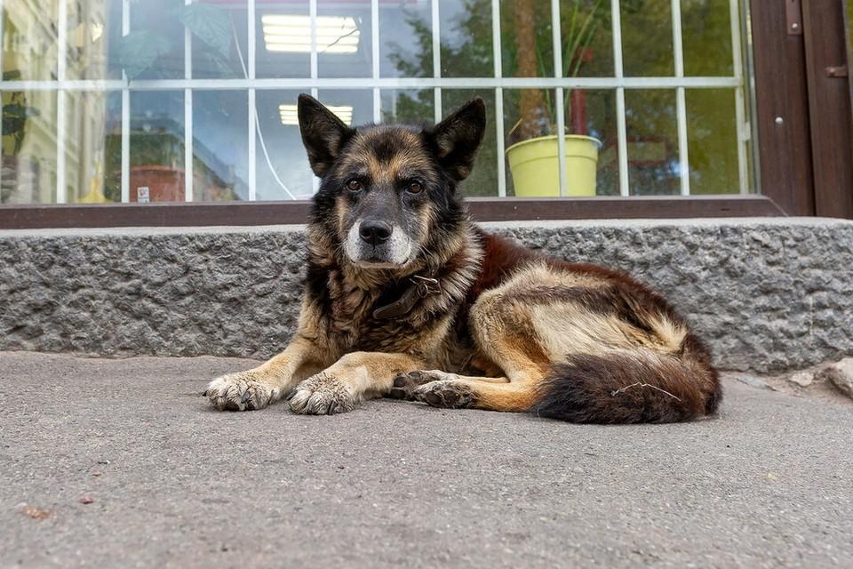 СК проводит проверку из-за искусанных собаками детей в Ленобласти.