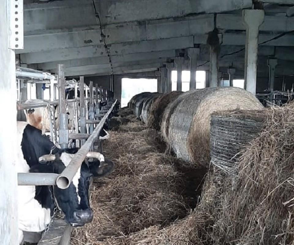 На животноводческих фермах в Колпашевском районе предприниматели выращивают КРС, занимаются переработкой мяса и молока. Фото пресс-службы АТО.