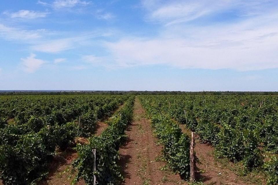 Показатели производства в группе «вино» к уровню прошлого года увеличились на 11%. Фото: сайт правительства РО