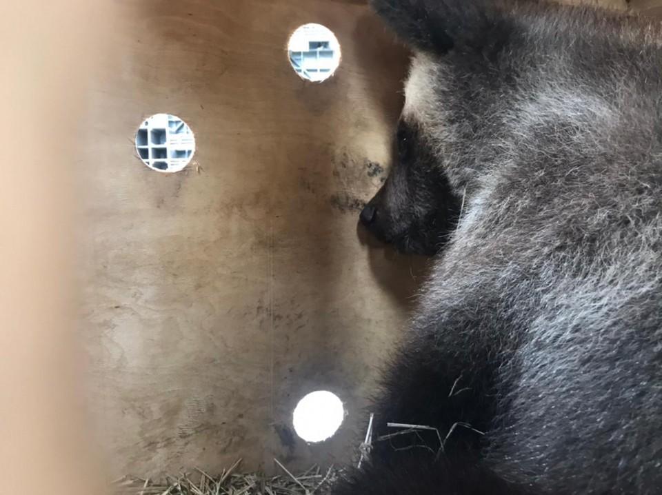 Спасенные медвежата Варвара и Баграт прилетели на реабилитацию в Хабаровский край