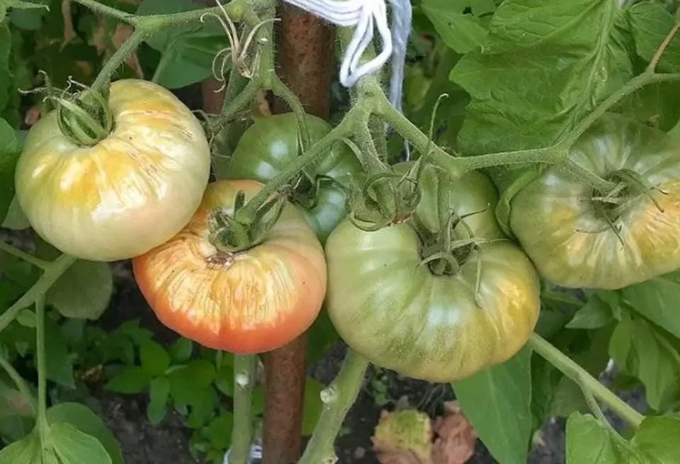 Минсельхоз Кубани: Из-за жары вредители лучше размножаются