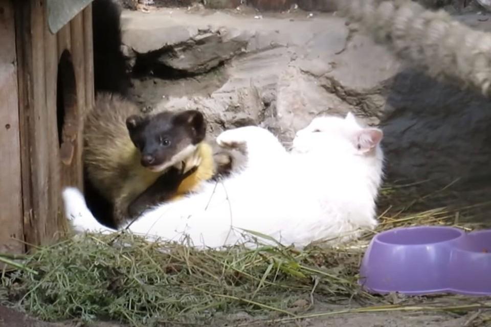 В Новосибирском зоопарке обычная домашняя кошка выкармливает детенышей харзы. Фото: Кадр из видео
